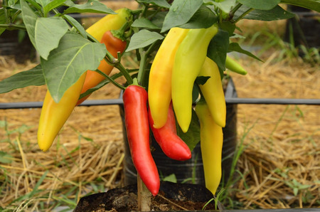 Beautiful vivid colors of big chilies