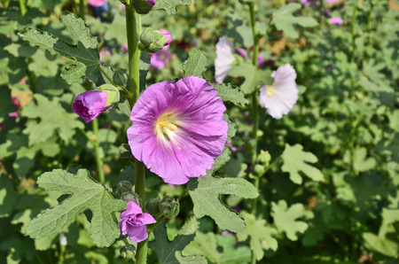 Violet hollyhoc flower in sunlight photo