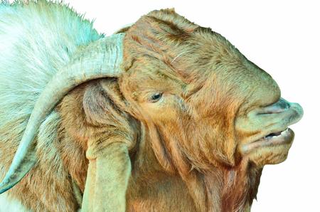 kinky: Kinky face of brown sheep