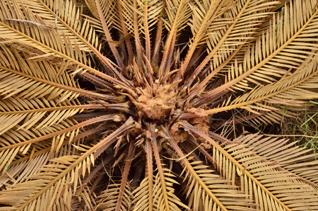 cycad: Pattern of dried cycad leaves