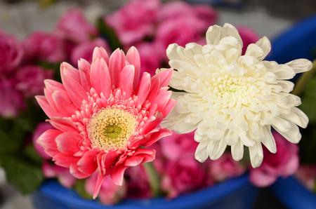 barberton daisy: Pink gerbera and white chrysanthemum