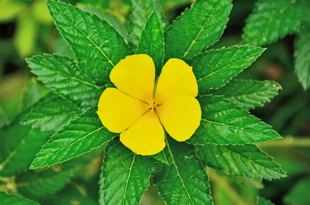 rosids: Yellow alder flower with her leaves Stock Photo