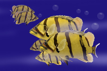 siamese: Swimming siamese tigerfish in blue water
