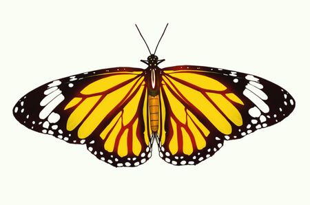 north american butterflies: Plain tiger butterfly o white background