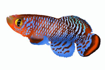 killing: Beautiful killing fish on white background