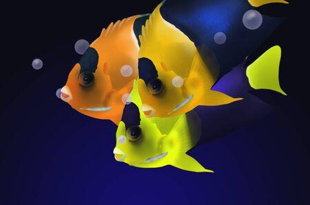 pygmy: Biocolor angle fish in deep blue sea