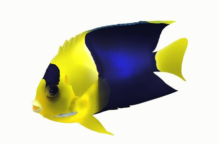 pygmy: Biocolor angle fish on white background Stock Photo