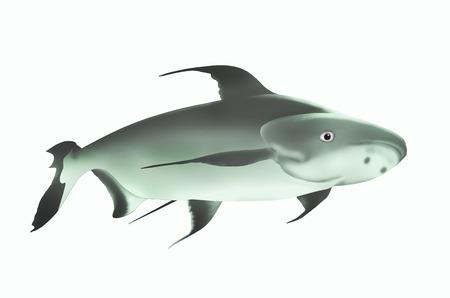 catfish: Mekong giant catfish on white background