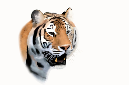 bengal: Bengal tiger face on white background Stock Photo