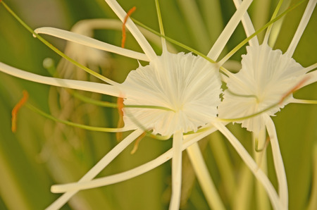 spider lily: Couple white spider lily flowers closeup