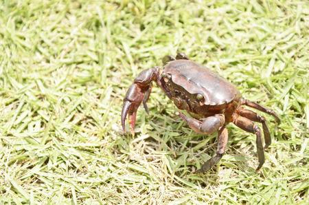 tweak: Red fresh water crab on the grass Stock Photo