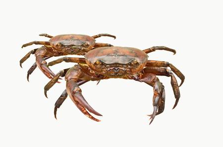 nip: Fresh water crabs on white background Stock Photo