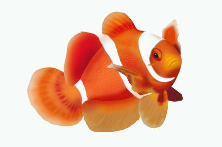 nemo: Beautiful clownfish on white background