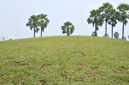 sugar palm: Grass hill with sugar palm trees
