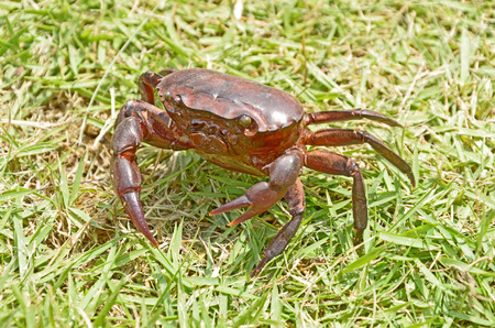 tweak: Local thai crab on the green grass