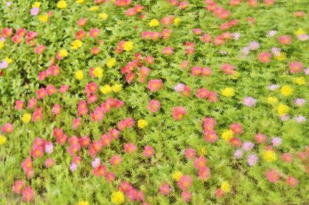 distort: Color pattern of purslane flowers