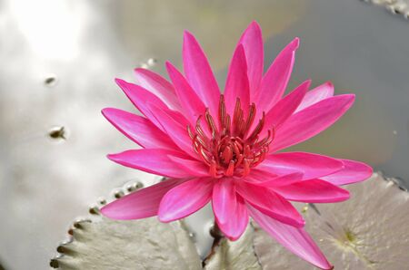 red water: Beautiful red water lily flower with water background Stock Photo