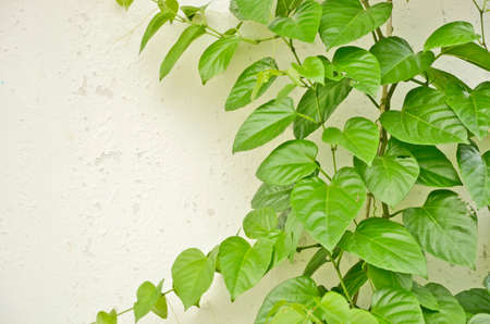 creeping plant: Fresh green leaves of wild creeping plant on the wall