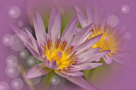 pollens: Yellow pollens of violet water lily with air bubbles