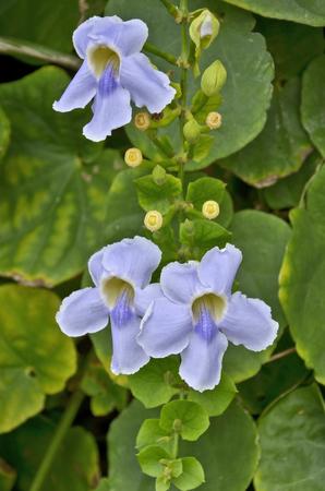 creeping plant: Soft blue flowers of creeping plant