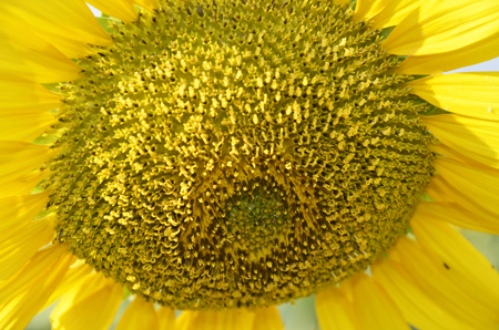 pollens: Little pollens of sunflowers