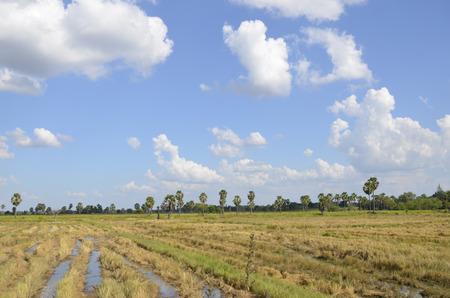 rice harvest: Beautiful sky in the rice harvest season