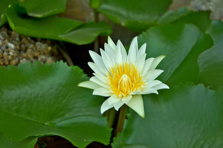 pollens: Yellow pollens of white water lily Stock Photo
