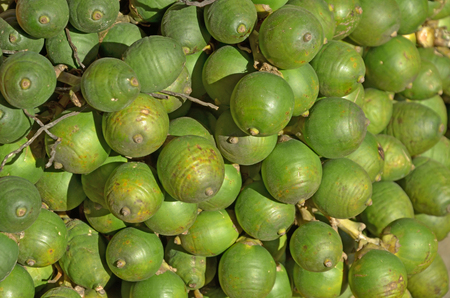 betel: Green betel palm fruits in the sunlight Stock Photo