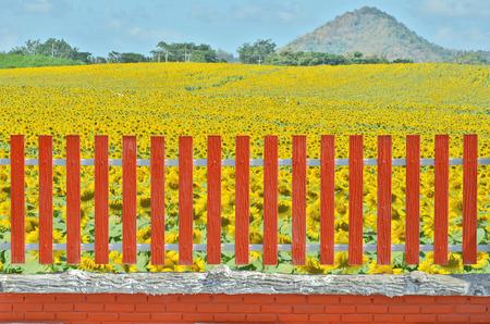 ornage: Sunflower farm behind ornage fence Stock Photo