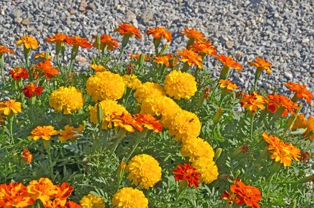 tree marigold: Beautiful marigold flowers on small stone background Stock Photo