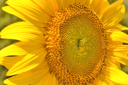 pollens: Beautiful pollens and young seed of sunflower
