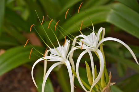 spider lily: Yellow pollens with branches of spider lily flowers