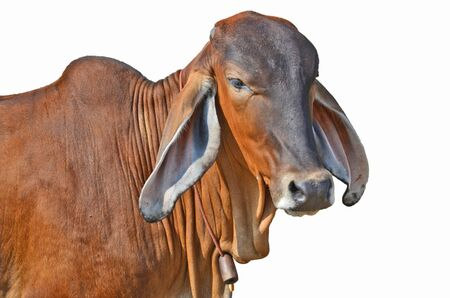 ox eye: Smart young brown cow on white background Stock Photo
