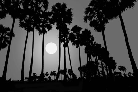 paddy field: Full moon night and palm forest