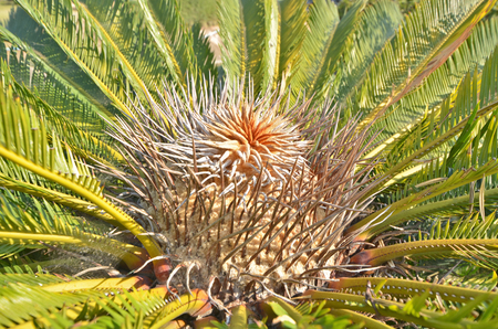 cycad: Branch pattern of cycad top