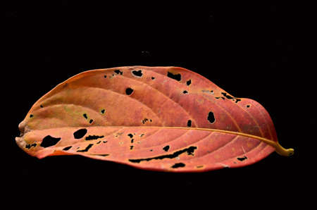 porous: Old porous leaf on black background