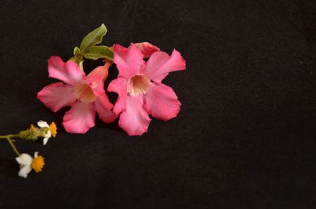 impala lily: Pink impala lily and white flowers Stock Photo
