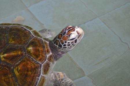 salt water: Beautiful sea turtle in the salt water