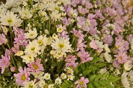 ornamentation: Beautiful color chrysanthemum flowers for ornamentation Stock Photo