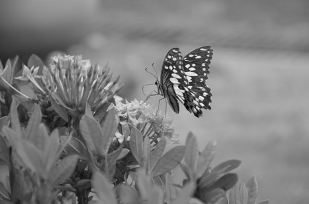 Black and white image of butterfly with ixora flowers Stock Photo