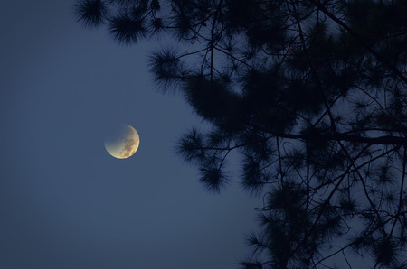 Waning moon and pine leaves at night