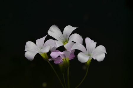false shamrock: Shamrock flowers on black background