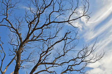 float cotton cloud: Black branches with blue sky in fall season Stock Photo