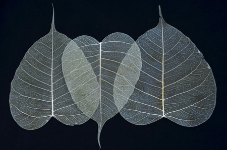 pipal: Beautiful white vein pattern of bodhi leaves