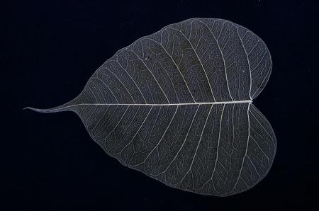 Beautiful vein details of banyan leaf