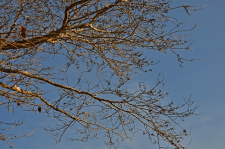 float cotton cloud: Art of branches and dried fruit on blue sky Stock Photo