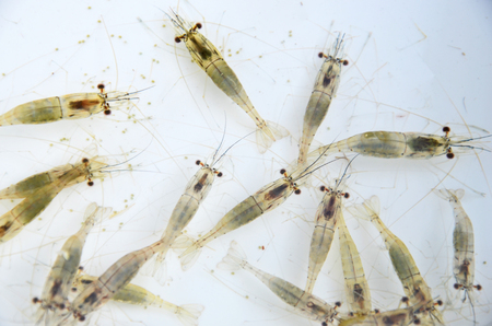 Swimming small shrimps in clear water Stock Photo