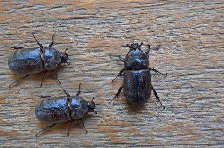 Black female unicorn beetles on wood floor Stock Photo