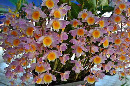 Beautiful soft violet and yellow orchid flowers
