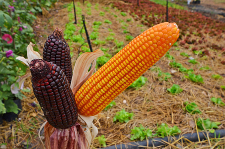 Showed black and yellow corn seeds in a garden
